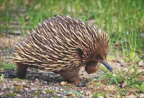 Echidna: animales en Australia
