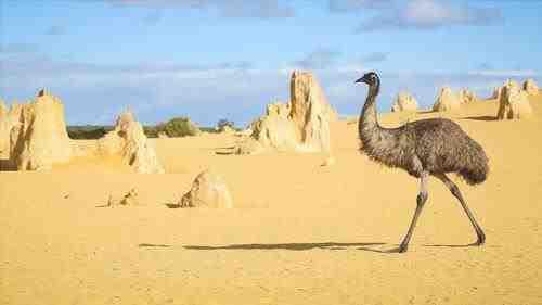 Emu in Pinnacle Desert - Parque Nacional Numbung en Australia - imagen de Neale Cousland