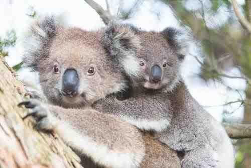 Koala - animal típico australiano