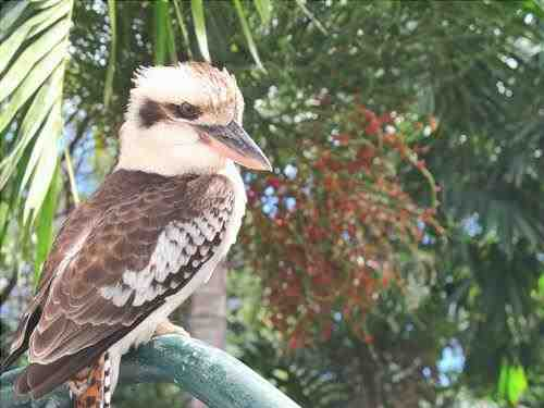 Kookaburra se sienta en un viejo árbol de goma de mascar...