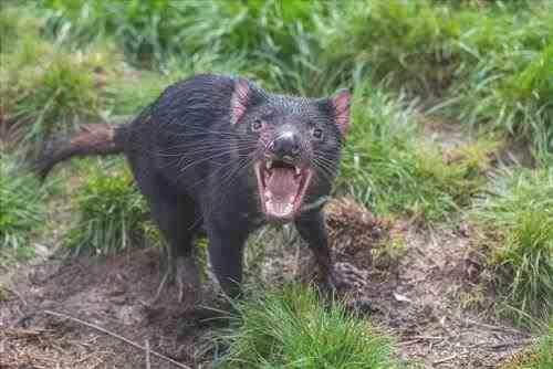 Animales en Australia: Tasmanian Devil