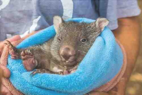 Wombat sostenida por un asistente del parque - imagen de Benny Marty